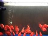 转让自家养血红鹦鹉鱼