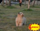 金毛幼犬,金毛犬多少钱