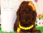 贵宾犬一般多少钱 贵宾有什么颜色 贵宾送人可以吗