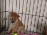 日系美系秋田犬宝宝、尊贵品质、高端伴侣犬护卫犬