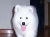 微笑天使萨摩耶 纯白色萨摩耶幼犬 女孩子的最爱