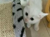 2个月家养全白小奶猫,蓝眼