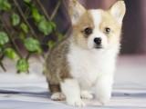 西安本地犬舍繁殖精品,柯基犬,博美犬,拉布拉多,等多品种