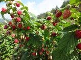 树莓苗 黄树莓苗黑树莓苗红树莓苗