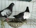 出售鸽子毛领 魔术鸽 四块玉 秀鸽等