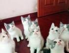 一窝英短梵文三花猫MM出售了