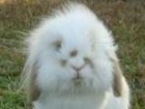 两只荷兰垂耳兔,一只纯白一只狸花