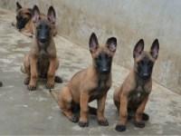 重庆地区好马犬关键是性格 高兴奋度马犬出售