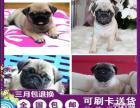 重庆高品质的赛级巴哥幼犬出售了 疫苗做完 质量三包