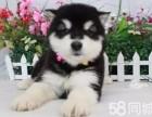 本犬舍专业繁殖精品阿拉斯加,我认第二谁敢认第一