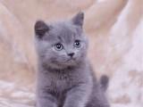 四川成都纯种蓝猫价格纯血包子脸蓝猫幼猫蓝胖子价钱