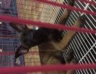 马犬纯种幼犬出售 红马猎犬 短毛犬护卫犬警犬包纯种