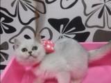 天津福州佛山珠海布偶折耳波斯短毛猫多少钱 双飞猫