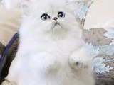 自家养的挪威森林猫