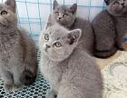 英短小蓝猫找新家