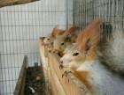 出售魔王松鼠红腹黄山松鼠蜜袋鼯雪地松鼠