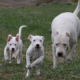 家养一窝凶猛霸气杜高猛犬,疫苗齐全,多只可以挑选!