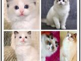 里有出售宠物布偶猫猫包纯种健康送货上门