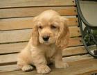 出售精品黄白色 可卡犬 纯种可卡 犬舍直销 上门