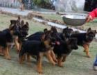 武汉高品质的德国牧羊犬出售了 疫苗做完 质量三包