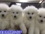 wto207丨纯种萨摩耶犬丨聪明迷人