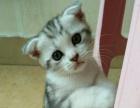 折耳猫,虎斑猫转让出售