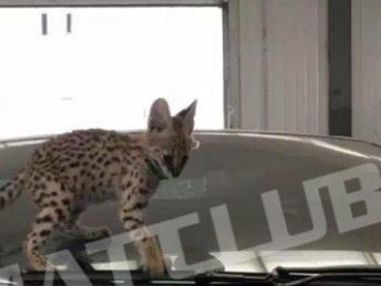 喵吧实体店 常年出售纯种布偶猫缅因猫狞猫薮猫