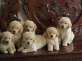 深圳养殖基地直销金毛犬及其它品种 签协议 送用品