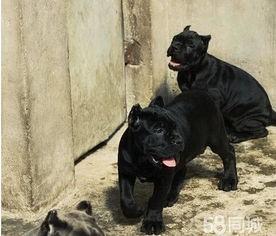 纯种卡斯罗低价出售 血统纯正价格低 可上门选狗狗 可全国包邮