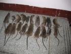 广州灭老鼠公司 灭老鼠低价又彻底 正规灭鼠公司有保障