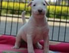 惠州哪里有卖牛头梗 纯种牛头梗犬多少钱 牛头梗幼犬图片