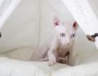 猫舍繁殖无毛猫 欢迎上门挑选