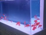 上海哪里有买锦鲤鱼