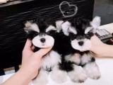 东莞 本地出售雪纳瑞幼犬狗狗包健康纯种售后无忧