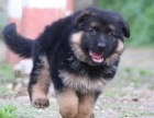 高品质德国牧羊犬幼犬品质佳纯种健康 可签署质保协议