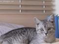 纯种美短幼猫短毛猫,虎斑猫品相甜美性格乖巧