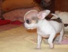 大型犬舍繁殖高品质吉娃娃健康有保证欢迎上门