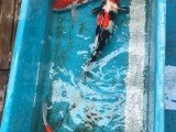 杭州錦鯉魚養殖