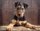 纯种赛级万能梗犬 万能梗幼犬 不掉毛,无体味,三窝可选