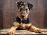 万能梗幼犬 大型犬梗类犬家庭看护犬