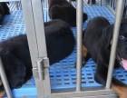 深圳哪里有罗威纳幼犬 福田哪里有卖罗威纳幼犬
