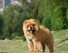 金华松狮怎么卖的 金华白色松狮多少钱一只 黑色松狮多少钱