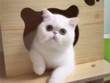 河南鄭州黑白加菲貓一只到手價格