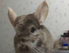 纯正米色公龙猫,7个月大