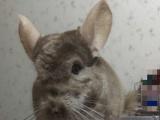 :纯正米色公龙猫,7个月大