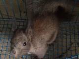 出售魔王松鼠成年
