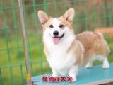 东莞哪里能买到健康的柯基犬 东莞CKU认证犬舍 聚德庄