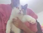 出售美短起司折耳英短蓝猫渐层金吉拉豹猫矮脚布偶