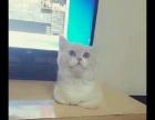 纯种英短**猫咪