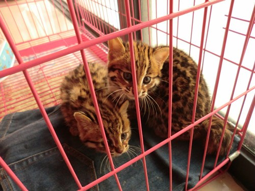 太原哪里有孟加拉豹猫卖 野性外表温柔家猫性格 时尚 漂亮